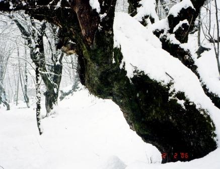 Красивые и сильные деревья под снегом изогнулись тяжело...(М.Парамонова Сказка Красной поляны) с.jpg